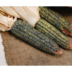 Green Oaxacan Corn