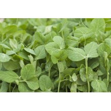 Sprouting Peas 200 gr