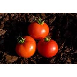 Polish Dwarf Tomato