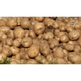 BP1 Seed Potatoes 900 g