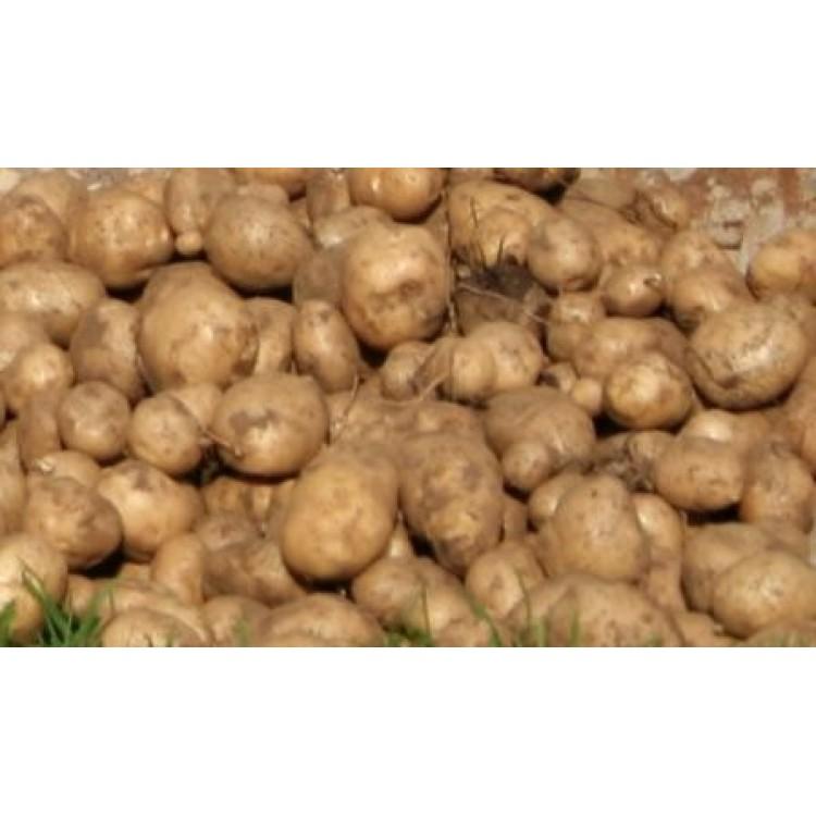 BP1 Seed Potatoes 4.5 kgs