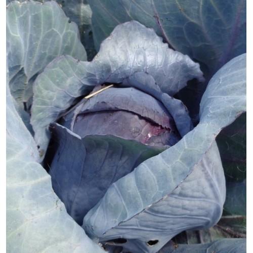 Redhead Cabbage