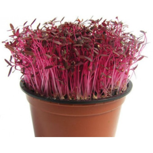 Red Amaranth (Sprouting Seed)