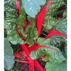 Swiss Chard Red Rhubarb