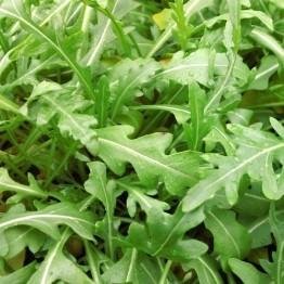Rocket Microgreen Seed