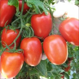 Roma Paste Tomato
