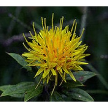Safflower (Poor man's Saffron)
