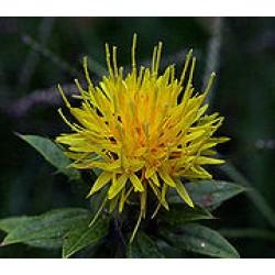 Safflower (Poor man's Saffron)