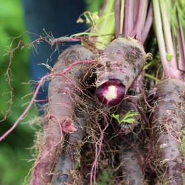 Siyah Havuch Carrot