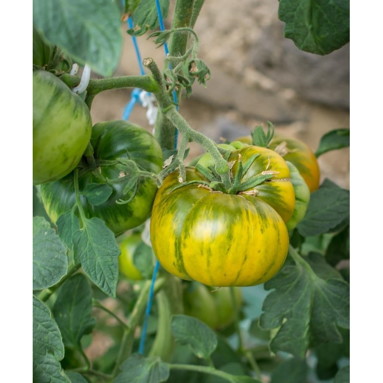 Spear's Tennessee Green Tomato