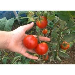 Stupice Tomato