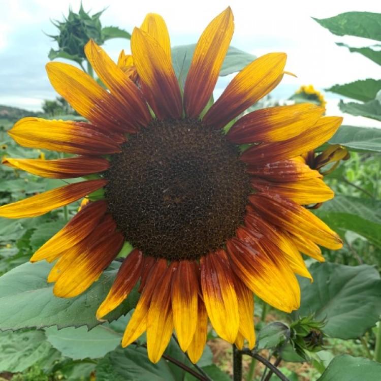 Susan's Dream Sunflowers