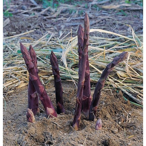 Asparagus Crowns Sweet Purple