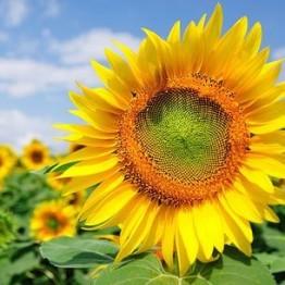 Sunflower Tarahumara