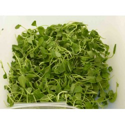 Tatsoi (Sprouting Seed)