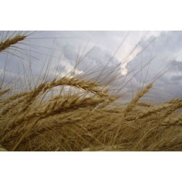 Turkish Winter Wheat