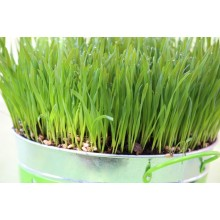Wheatgrass Sprouting Seed 200 gr