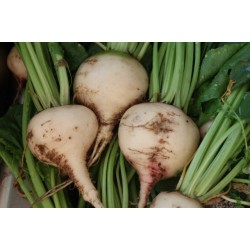 Albino White Beetroot