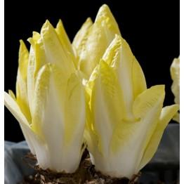 Witloof Chicory